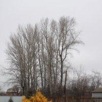 Осень. Туя и тополя. :: Олег Афанасьевич Сергеев