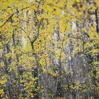 Осенние осины :: Анна (Анка) Салтыкова