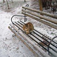 кот зимний средней пушистости :: Александр Корчемный