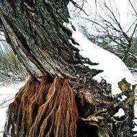 """Дерево """"Ива"""" :: Татьяна Королёва"""