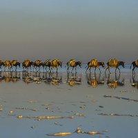 караван соли в озере соли Карум в пустыни Данакиль :: Георгий