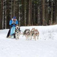 Гонки на собачьих упряжках. :: Николай Тренин