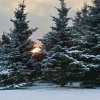 ёлочки зимой :: Наталия П