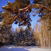 Смешанный лес . :: Мила Бовкун