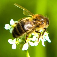 Пчела на цветке :: Андрей Гуров