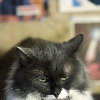 Сердитый кот :: Николай Холопов
