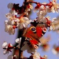весенний павлиний глаз :: Александр Прокудин