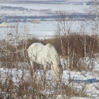 белая лошадь на белом снегу :: Анна