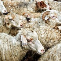 Овцы, да бараны... :: Valeriy(Валерий) Сергиенко
