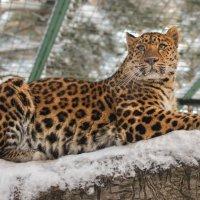 леопард дальневосточный :: cfysx
