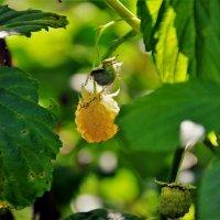 Жёлтая малинка... :: Sergey Gordoff