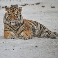 амурский тигрёнок :: cfysx
