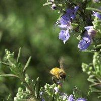 Пчёлка и Розмарин :: Александр Деревяшкин