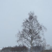Берёза зимой :: Вера Щукина