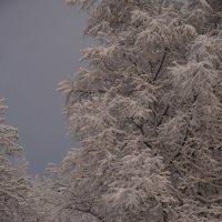 Деревья в снегу, – все укрыты, с заботой... :: Анна Приходько