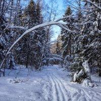 Лыжня в лесу :: Анатолий