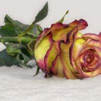Зимние цветы :: Эдуард Пиолий