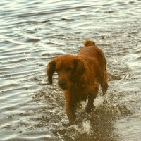 Рыжая собака :: demyanikita