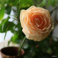 магия одинокой розы :: Олег Лукьянов