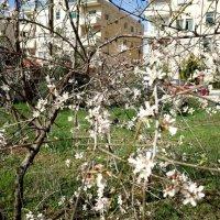 Февральское цветение миндаля. :: Жанна Викторовна