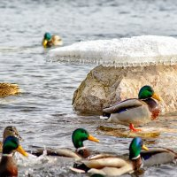 про зимующих уток :: Дмитрий Брошко