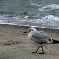 Одинокая чайка :: Людмила