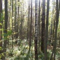 утро в лесу :: Светлана Рябова