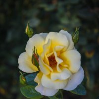 «  Розы желтые- символ надежды, Символ верности, вечной любви…» :: Андрей Нибылица