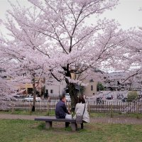 Сакура в Киото :: Swetlana V