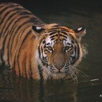 Король Тигр :: Александр Баранов