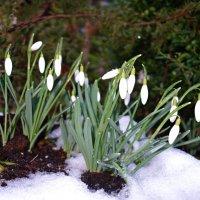 Первоцветы - вестники весны! :: Galina Dzubina