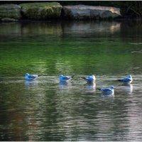 Чайки на воде :: Борис Херсонский