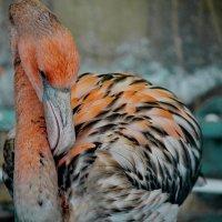 Фламинго :: Анастасия Смирнова