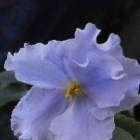 Цветение фиалки... :: Алёна Савина