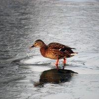 По тонкому льду... :: Дмитрий