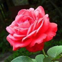 Прекрасная роза :: Александр Бурилов