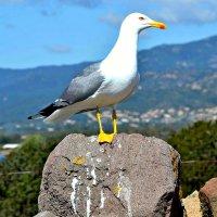 Чайка на острове Сардиния. :: Михаил Столяров