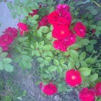 Рози :: Танюша