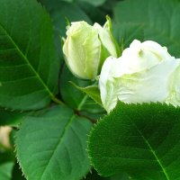 О белой розе :: Милешкин Владимир Алексеевич