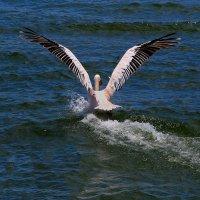 Пеликан   То взлёт то посадка ........... :: Jakob Gardok