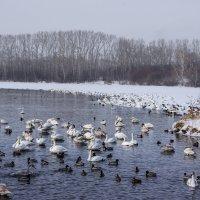 Озеро Лебединое :: Виктор Четошников