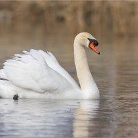 Белый лебедь :: Анна Солисия Голубева