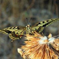 Бабочка :: Николай Волков