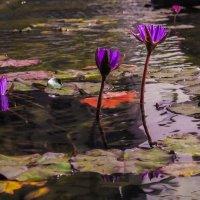 Водяные лилии :: Alla S.