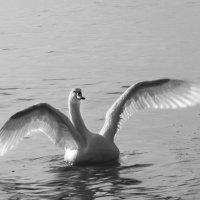 Лебедь :: Катя Чупахина
