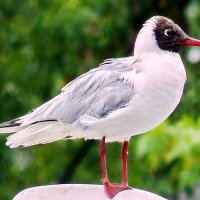 Чайка :: Александр