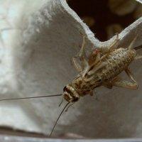 Это не таракан,а сверчок :: Татьяна Симонова