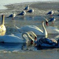 Птицы городского озера :: Сергей Карачин