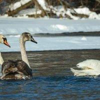Лебеди на зимовке. :: Анатолий 71