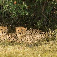 Два брата-гепарда, разбуженные нами :: Ольга Петруша